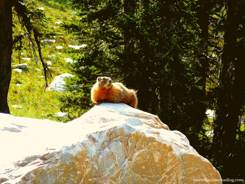 Yellow bellied marmot sitting on a rock