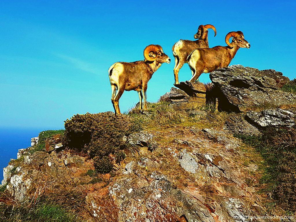 three bighorn sheep standing on rocks | Pike's Peak